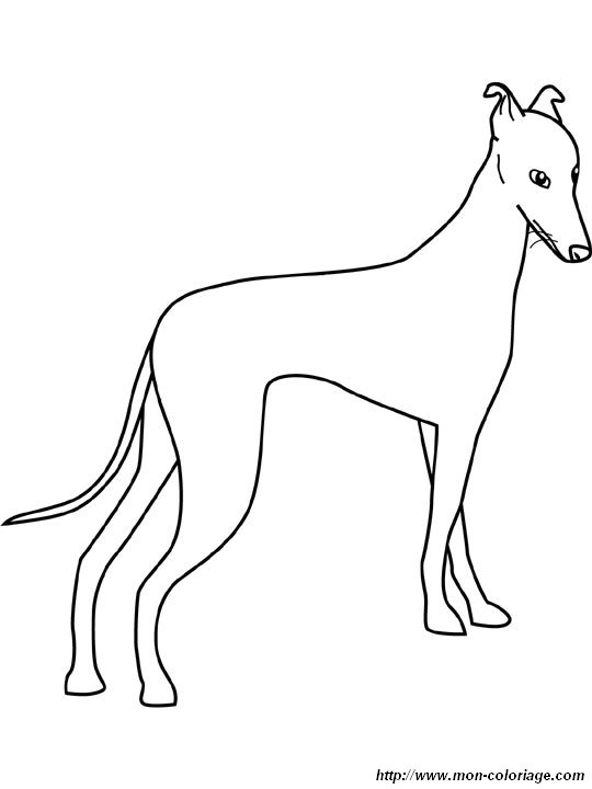 free coloring pages of afghans hounds | coloring Dogs, page afghan hound