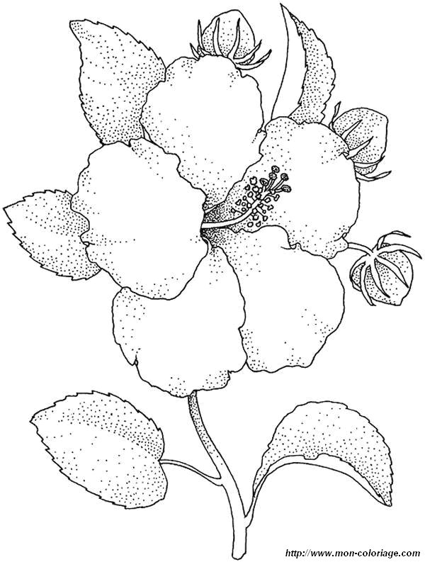 yellow hibiscus coloring pages - photo#18
