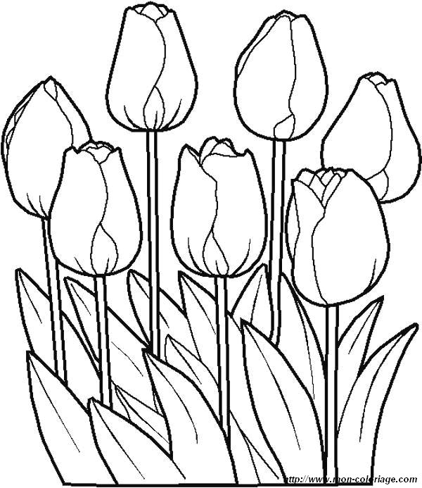 picture tulips flowers